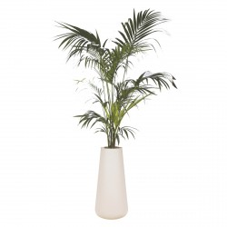 KENTIA PALM 200/230