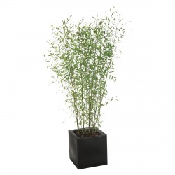 Plant BAMBOO 180/200